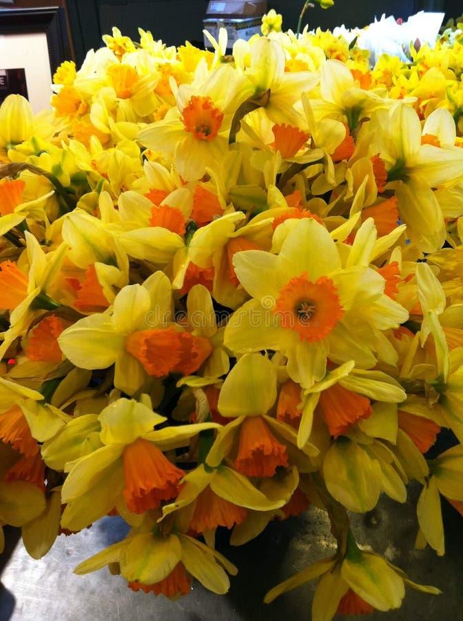 Jardim de narcisos amarelos amarelos e alaranjados brilhantes fotografia de stock royalty free