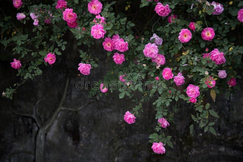 Jardim de rosas fotografia de stock royalty free