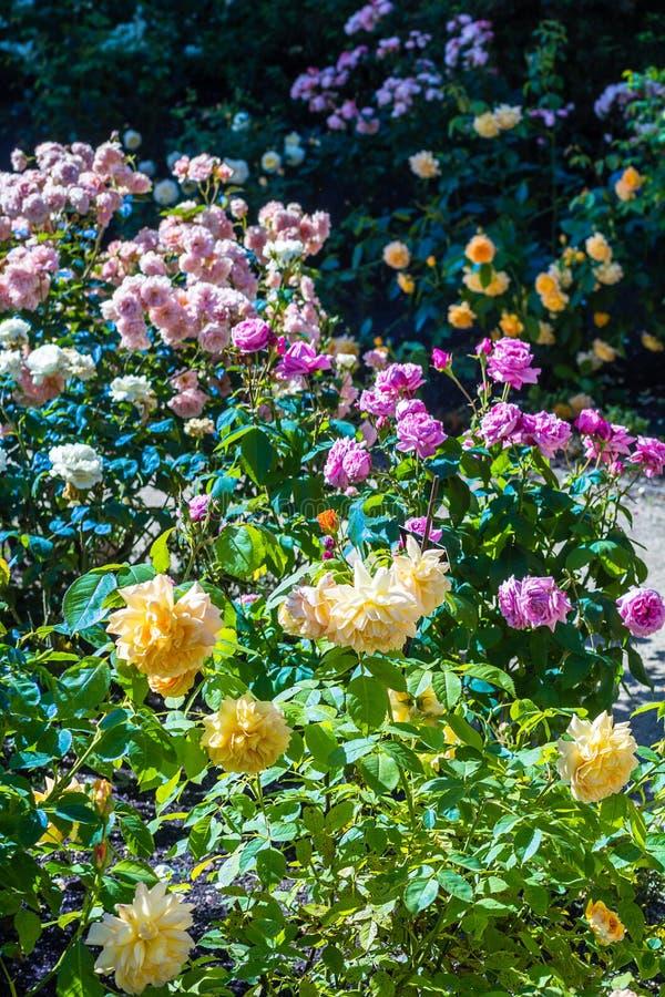 Jardim de rosas bonito no verão, Reino Unido fotos de stock