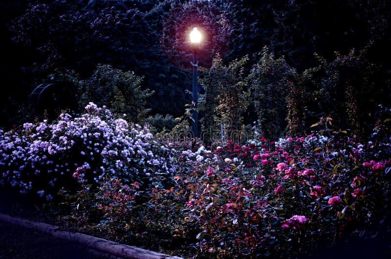 Jardim de rosas na noite fotografia de stock royalty free