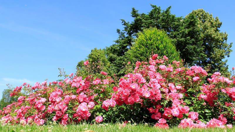 Jardim de rosas no verão na costa de mar Báltico imagem de stock