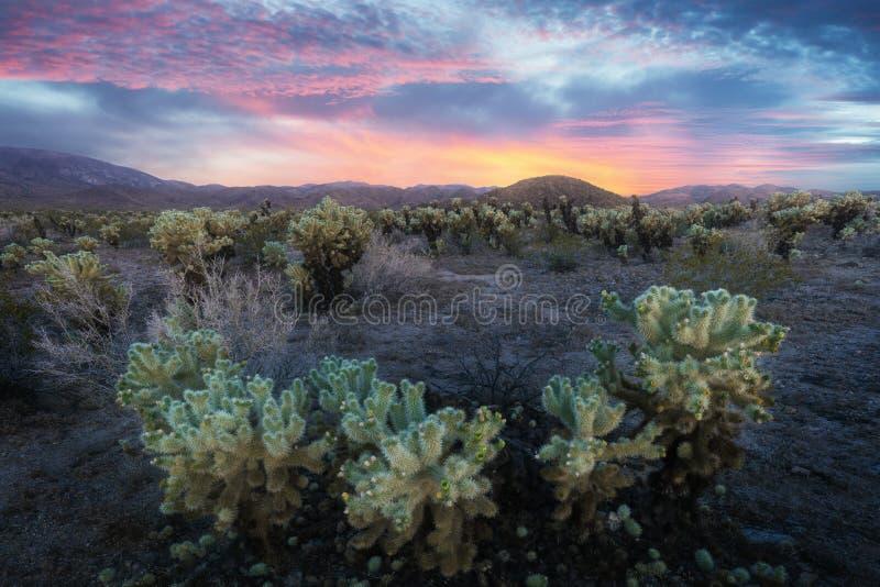 Jardim do cacto de Cholla em Joshua Tree National Park no por do sol Neste parque nacional o deserto de Mojave, Califórnia, EUA fotografia de stock