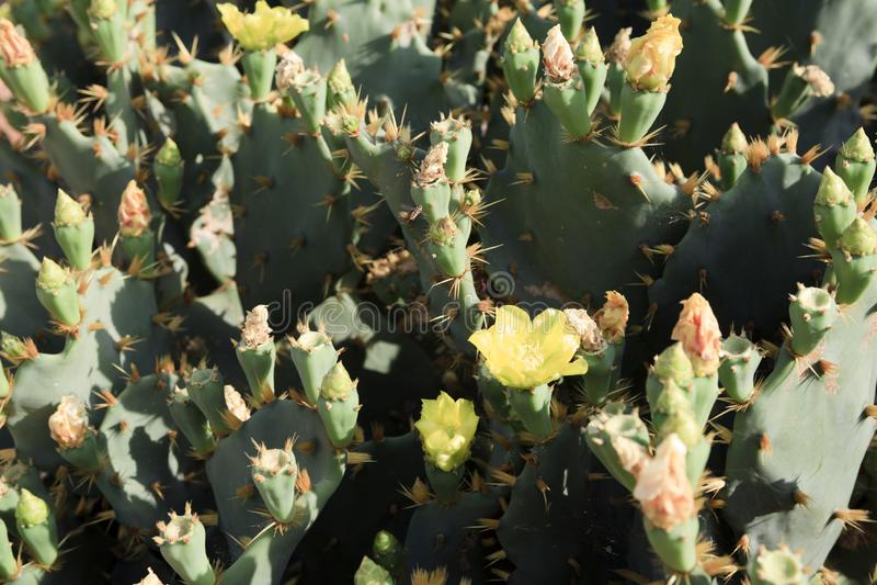 Jardim do cacto na ilha Majorca, jardim de Botanicactus, JardiÂn Botanico, Ses Salines, Mallorca, Balearic Island, Espanha fotos de stock royalty free