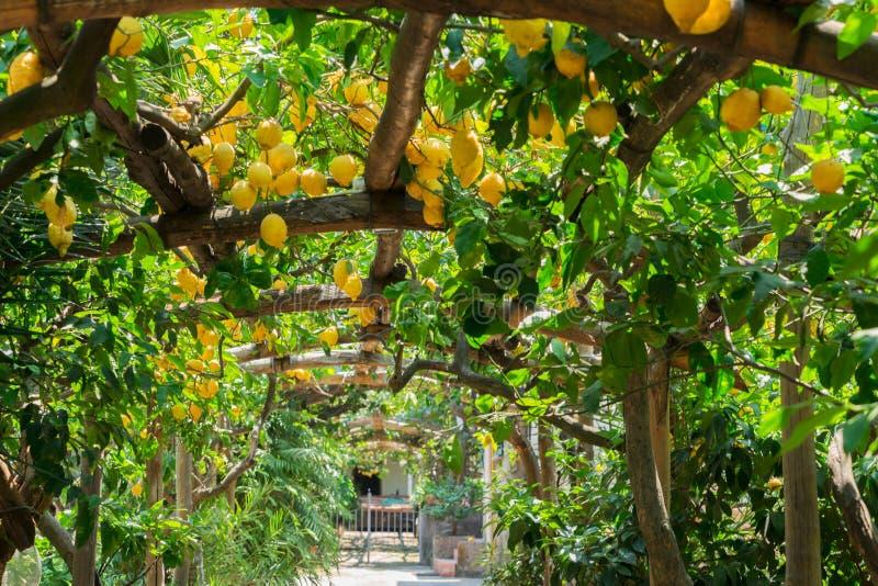Jardim do limão de Sorrento fotografia de stock