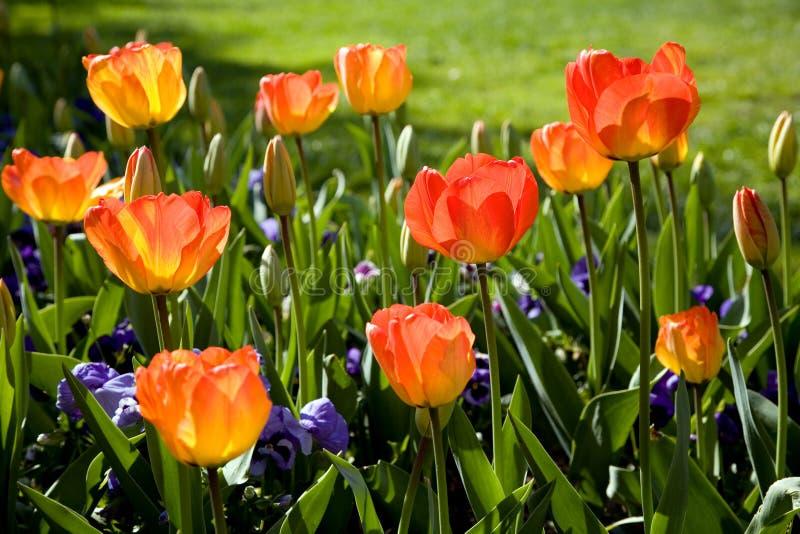 Jardim do tulip da mola imagens de stock royalty free