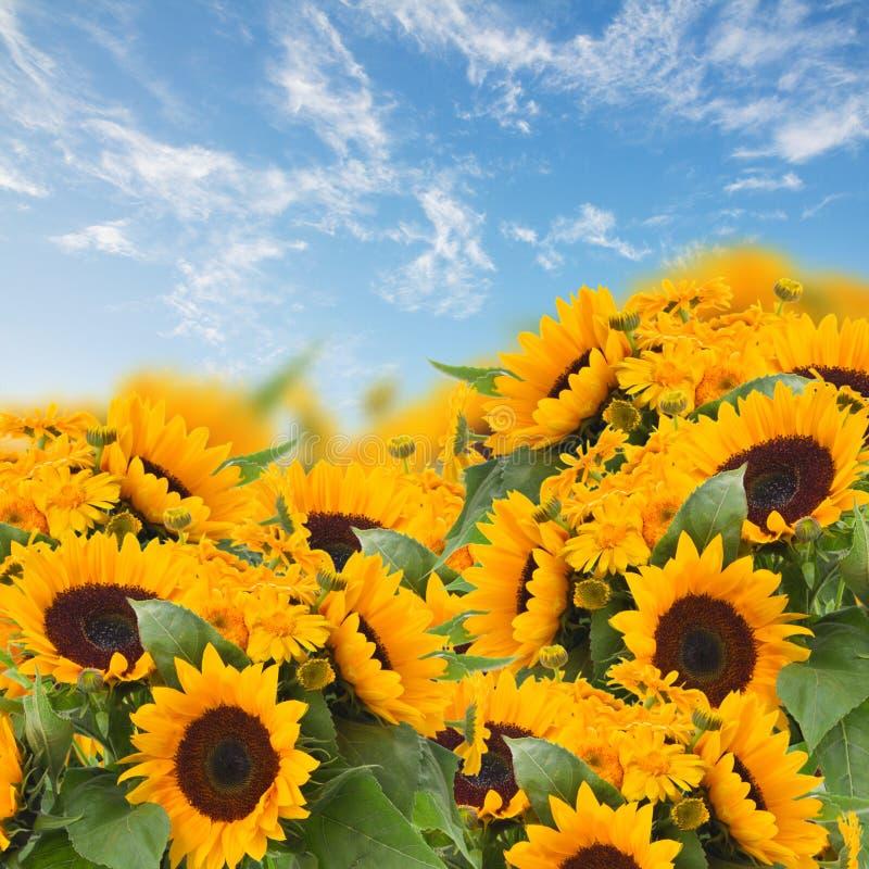 Jardim dos girassóis e de flores do cravo-de-defunto foto de stock royalty free