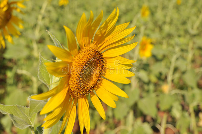 Jardim dos girassóis Os girassóis têm benefícios de saúde abundantes O óleo de girassol melhora a saúde da pele e promove a regen fotografia de stock royalty free
