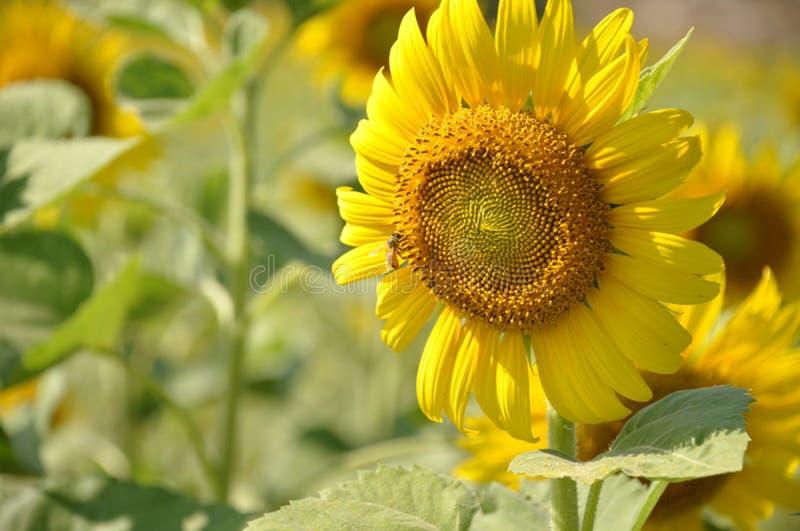 Jardim dos girassóis Os girassóis têm benefícios de saúde abundantes O óleo de girassol melhora a saúde da pele e promove a regen imagem de stock