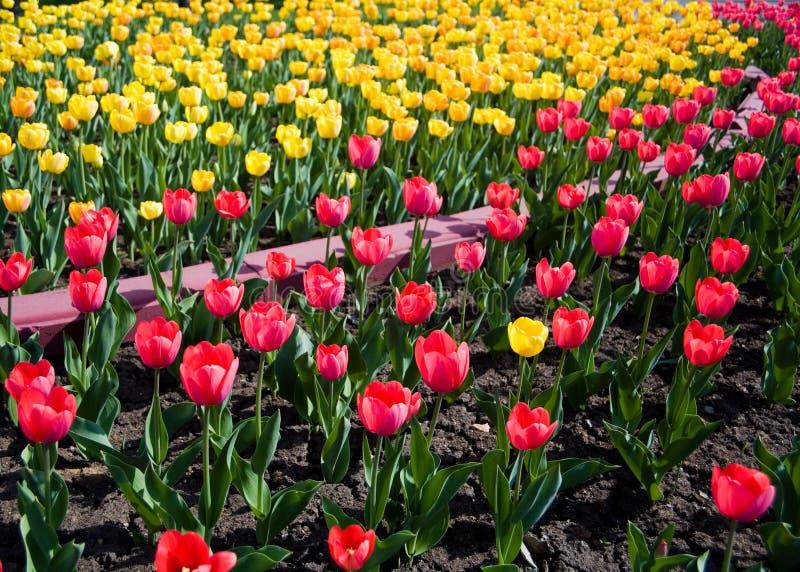 Download Jardim dos Tulips imagem de stock. Imagem de planta, flores - 12804747