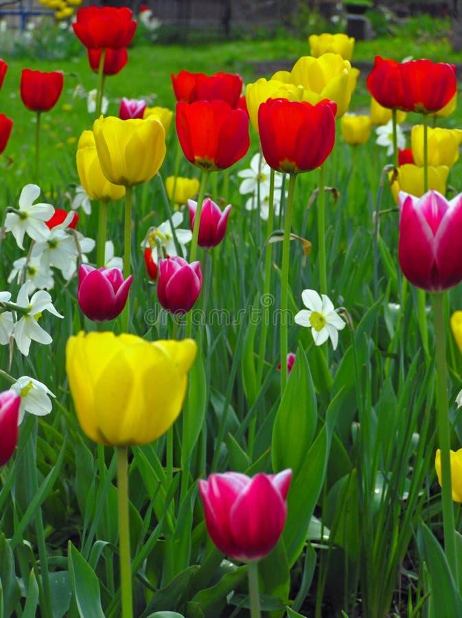 Jardim dos Tulips fotografia de stock royalty free