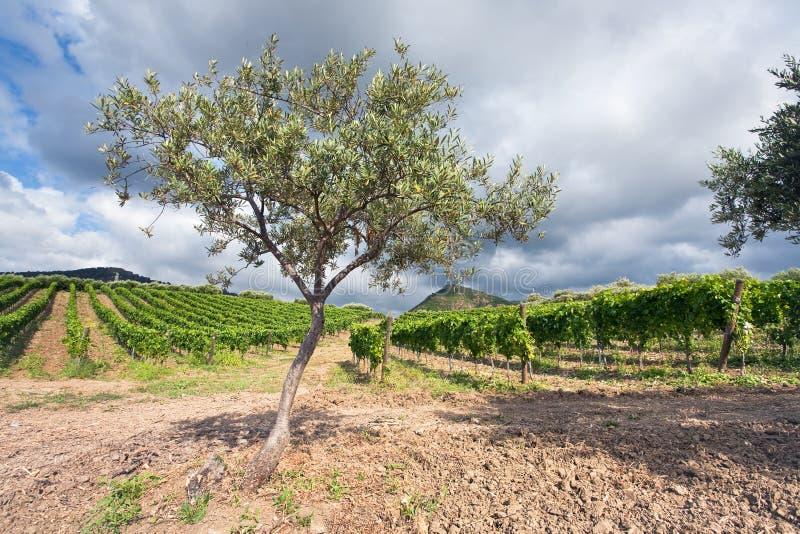Jardim e vinhedo verde-oliva, Sicília imagem de stock royalty free
