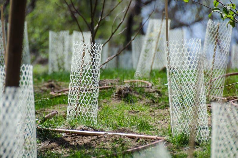 Jardim enchido com as plântulas protegidas por Mesh Protetor Tubes plástico branco fotos de stock royalty free