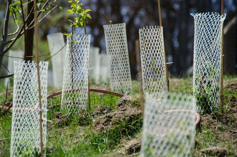 Jardim enchido com as plântulas protegidas por Mesh Protetor Tubes plástico branco imagens de stock royalty free