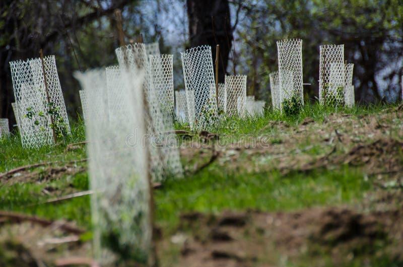 Jardim enchido com as plântulas protegidas por Mesh Protetor Tubes plástico branco fotografia de stock royalty free