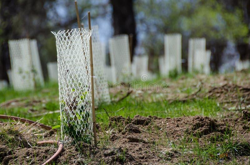 Jardim enchido com as plântulas protegidas por Mesh Protetor Tubes plástico branco foto de stock