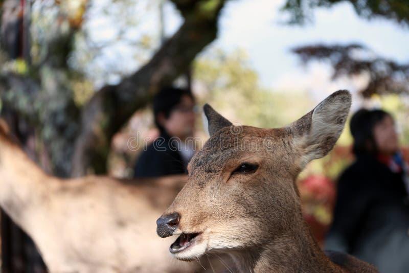 Jardim ereto do outono do borrão do fundo dos cervos do close up no parque em Nara, Japão imagens de stock royalty free