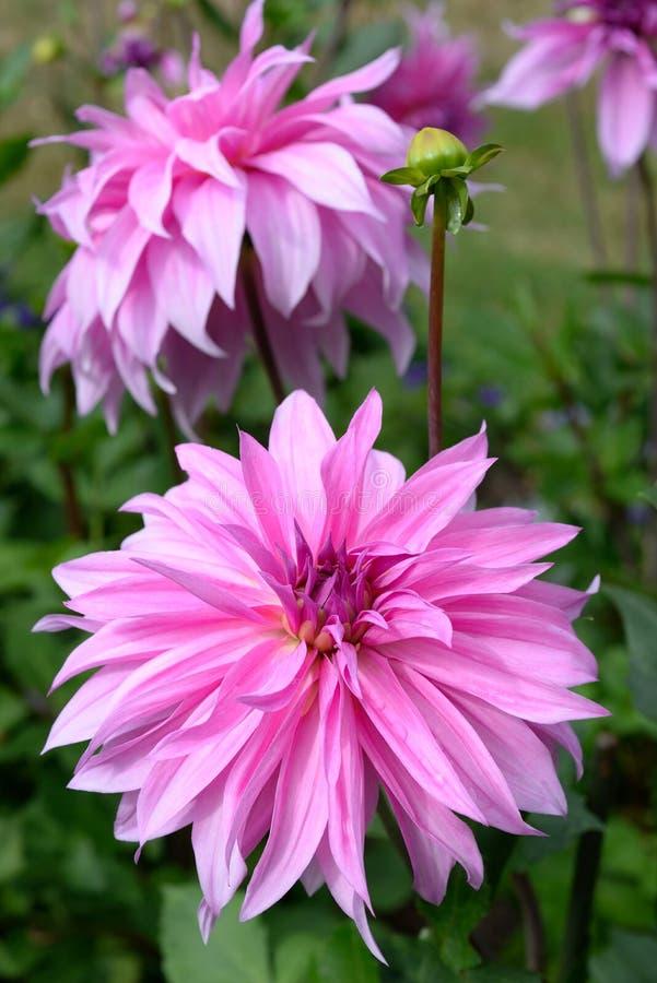 Jardim exterior do close-up decorativo cor-de-rosa da cabeça da dália fotos de stock