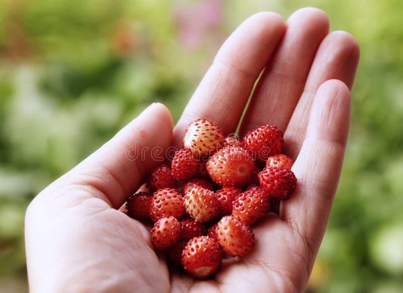 jardim exterior do fundo vermelho humano do bokeh do close-up das morangos da baga da mão fotos de stock royalty free