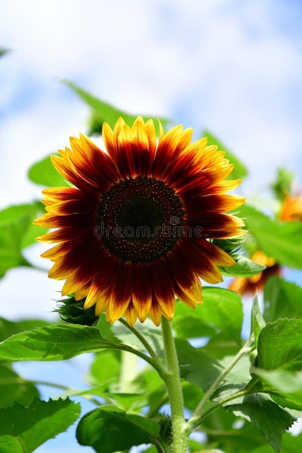 Jardim florescido colorido do girassol, plenitude das flores do verão fotografia de stock