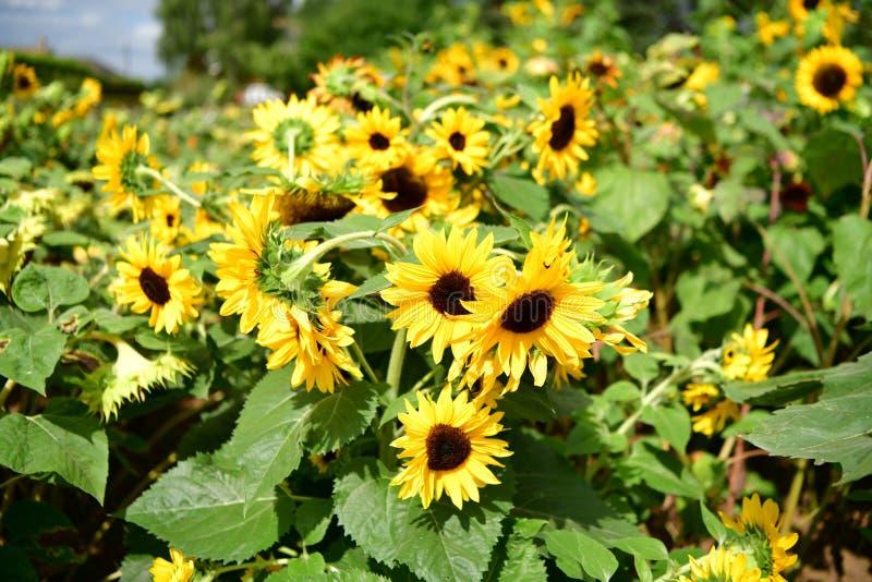 Jardim florescido colorido do girassol, plenitude das flores do verão foto de stock