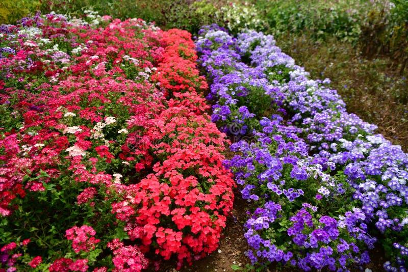 Jardim florescido colorido, plenitude das flores do verão foto de stock royalty free