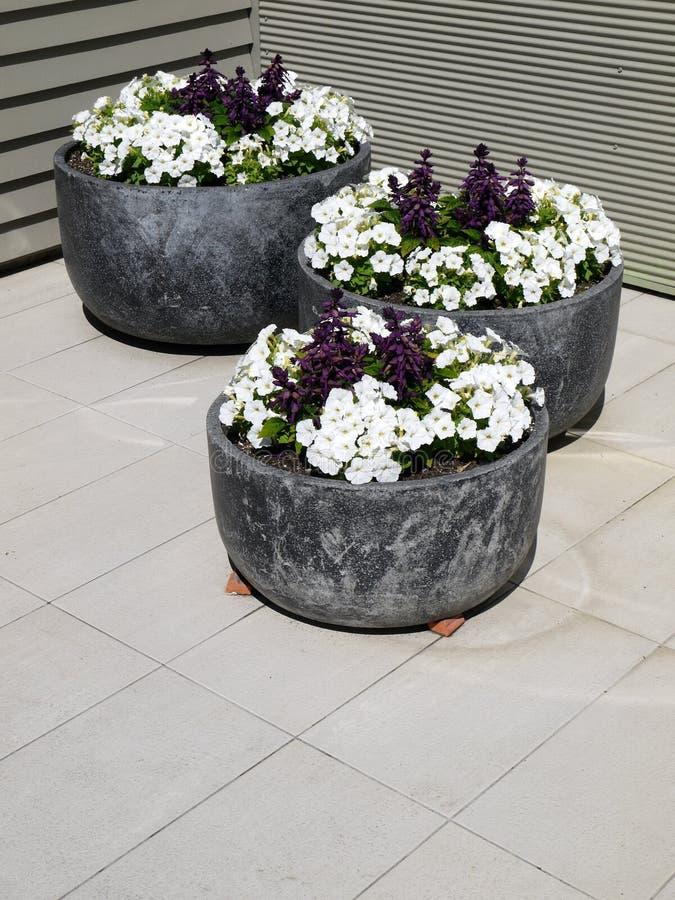 Jardim moderno: três petúnias do branco dos plantadores foto de stock royalty free