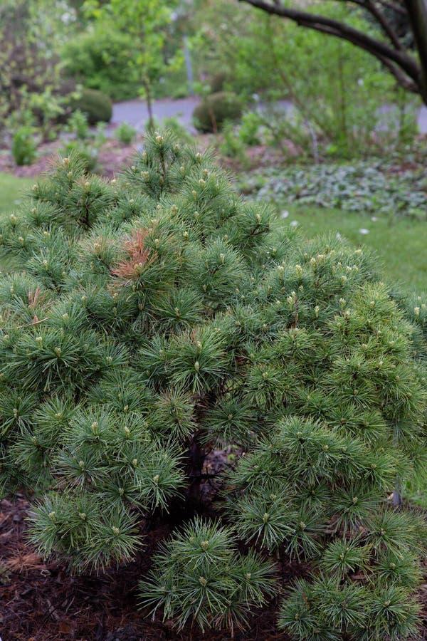 Jardim oriental do Pinaceae do diabrete de mar do strobus do pinus do pinho branco do blanc do Pin imagem de stock