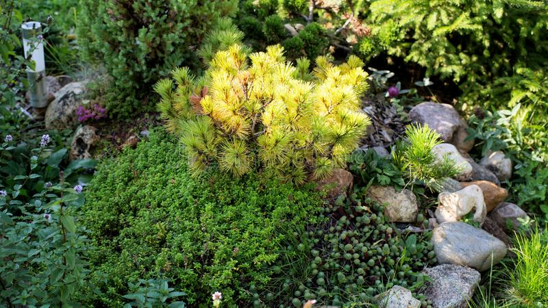 Jardim ornamental do pinho amarelo do anão imagens de stock