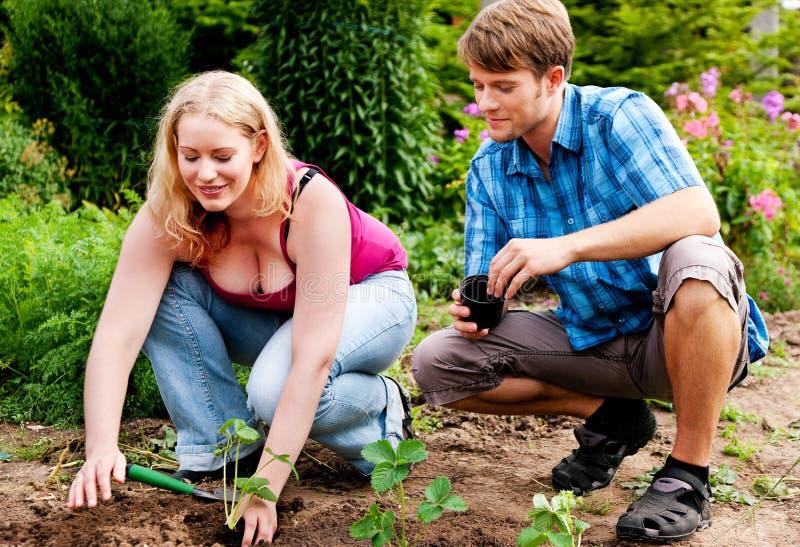 Jardim - plantando seedlings da morango fotografia de stock