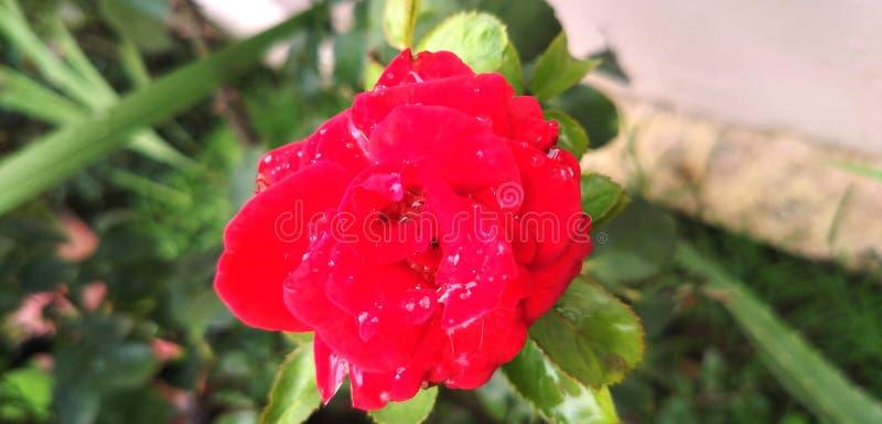 Jardim Rose Symbol vermelha do amor e da paixão fotos de stock royalty free