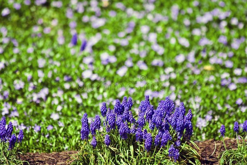 Jardim roxo/branco imagem de stock royalty free