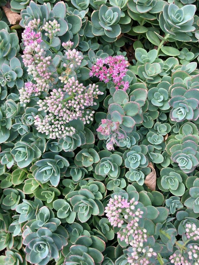 Jardim suculento foto de stock