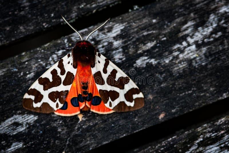 Jardim Tiger Moth imagens de stock royalty free