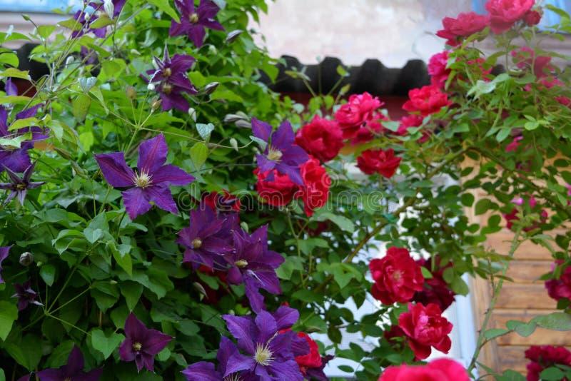 Jardim urbano de florescência no verão com as flores da clematite roxa e das rosas vermelhas imagem de stock royalty free