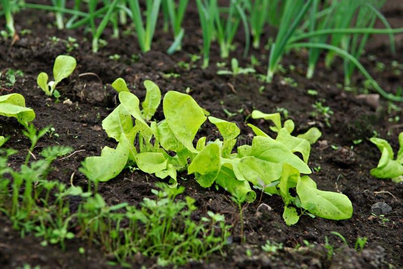 Jardim vegetal fotografia de stock royalty free