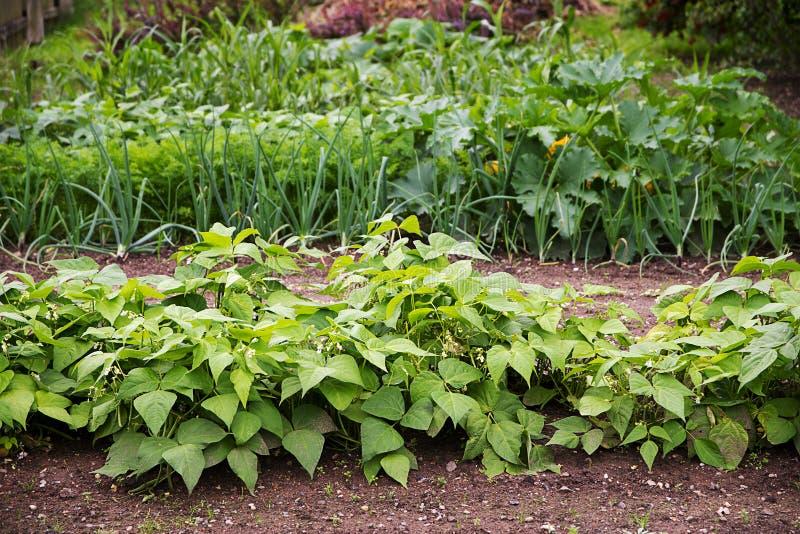Jardim vegetal com as camas nas fileiras, plantadas na sagacidade da rotação de colheita imagens de stock royalty free
