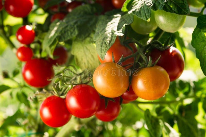 Jardim vegetal com as plantas de tomates vermelhos fotografia de stock
