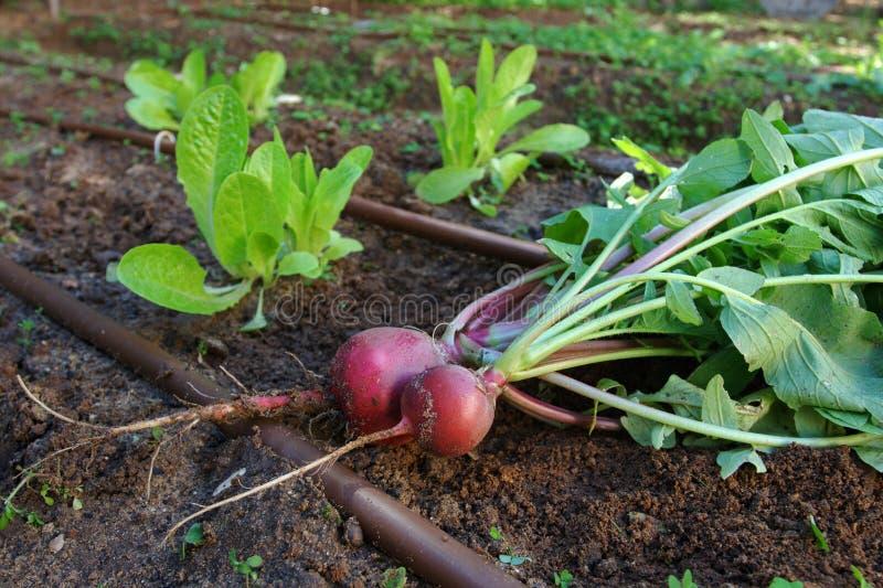 Jardim vegetal - Radish e alface imagens de stock