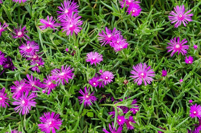 Jardim verde com flores coloridas de um roxo-cor-de-rosa foto de stock royalty free