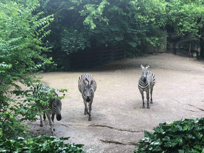 Jardim zoológico das zebras imagens de stock royalty free