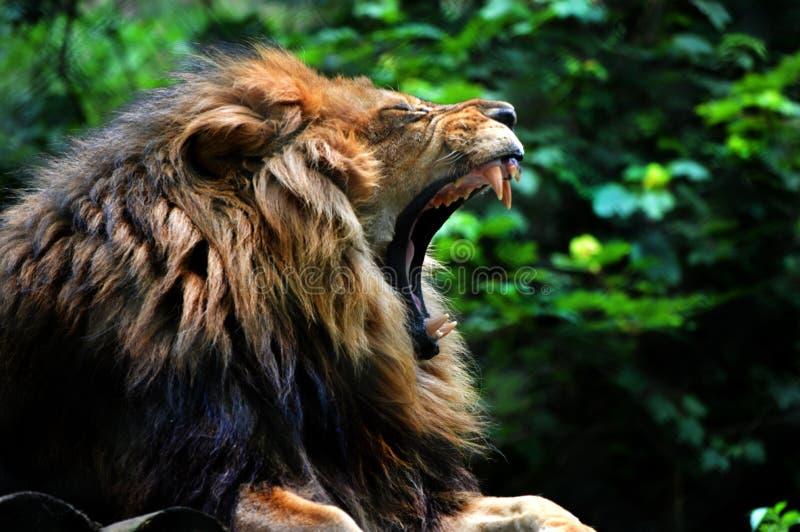 Jardim zoológico de bocejo de Dartmoor do leão fotografia de stock royalty free