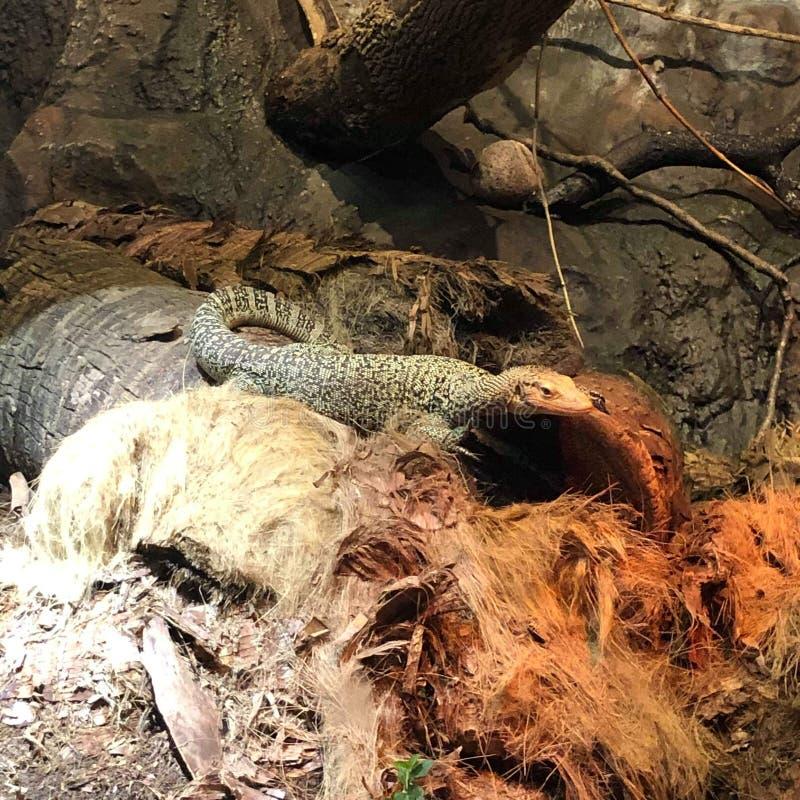 Jardim zoológico do lagarto fotografia de stock