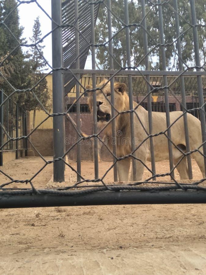 Jardim zoológico do leão imagens de stock