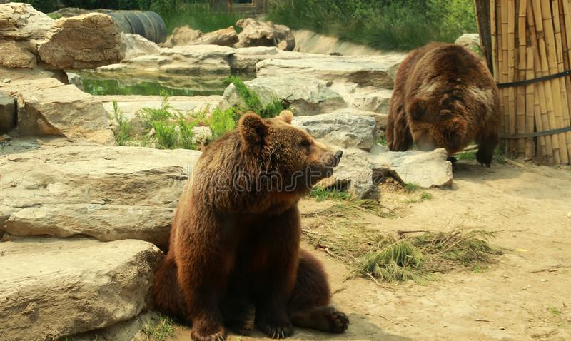 Jardim zoológico inBeijing do urso dois marrom fotos de stock royalty free