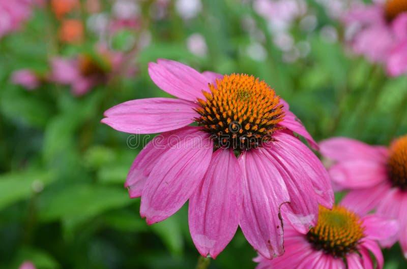 Jardin avec Coneflowers tout en fleur photo libre de droits