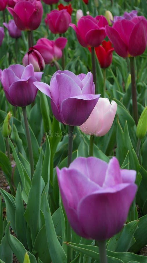 Jardin avec la floraison pourpre et rose de tulipes images libres de droits
