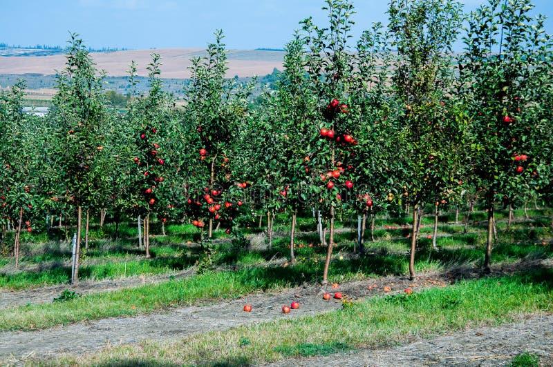 Jardin avec les pommiers verts Les pommes rouges accrochent sur les branches photographie stock