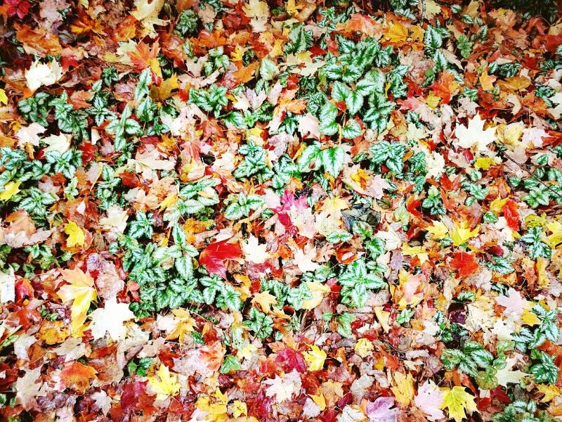 Jardin botanique de montagnes bleues de feuilles d'érable @, bâti Tomah images stock