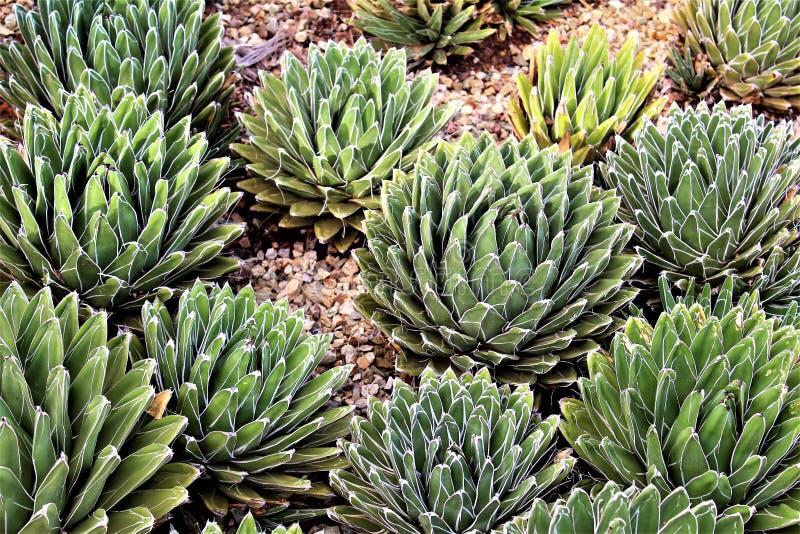 Jardin botanique Phoenix, Arizona, Etats-Unis de désert photo libre de droits