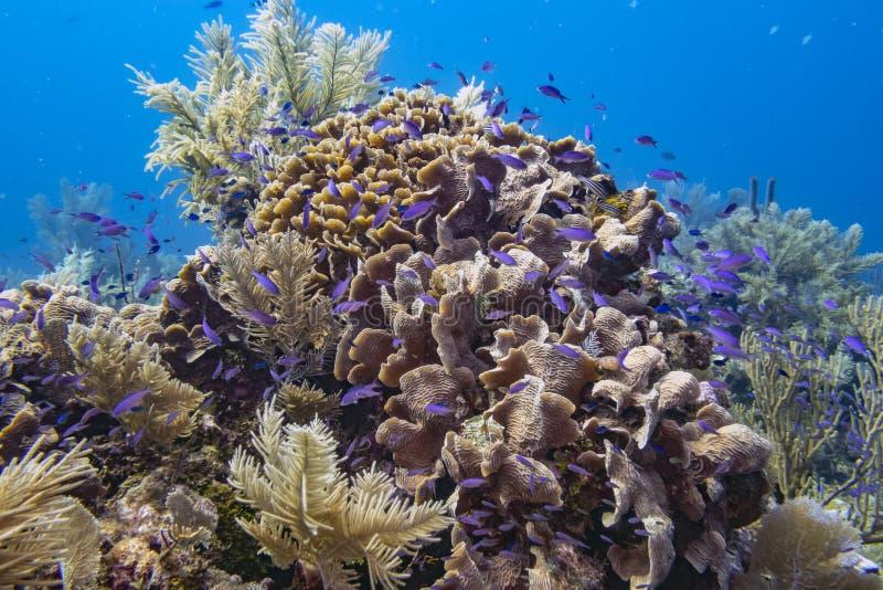 Jardin corallien des Caraïbes images libres de droits